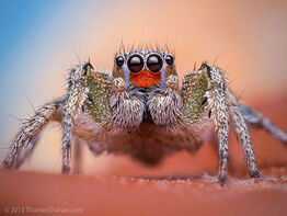 Jumping Spider - Arizona